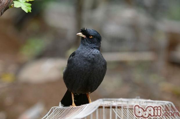 八哥鸟的品种简介