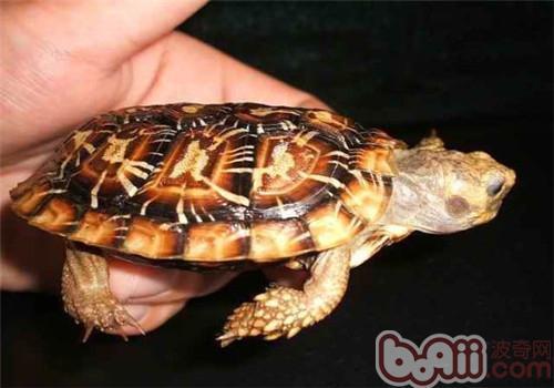 饼干龟的养护知识