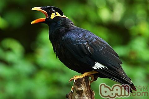 家庭饲养八哥鸟的环境要点