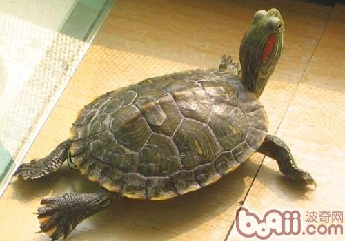 巴西红耳龟的养护要点