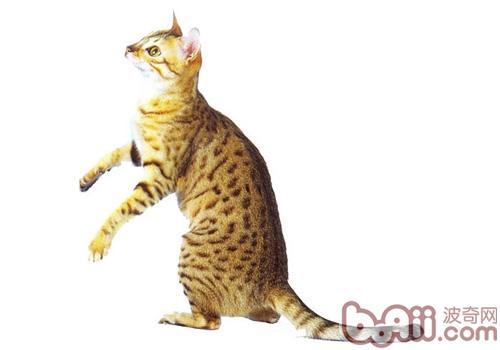 埃及猫的性格特点如何