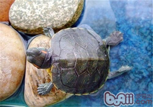 巴西红耳龟的生活环境设置