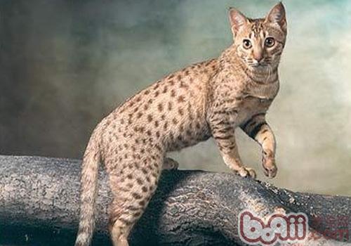 埃及猫的形态特征