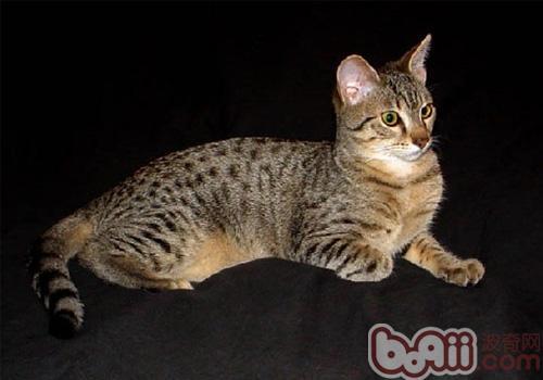 埃及猫品种简介