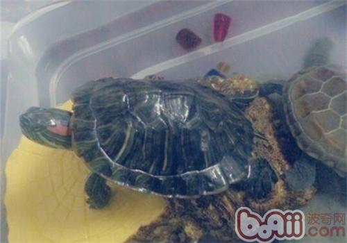 巴西红耳龟品种简介