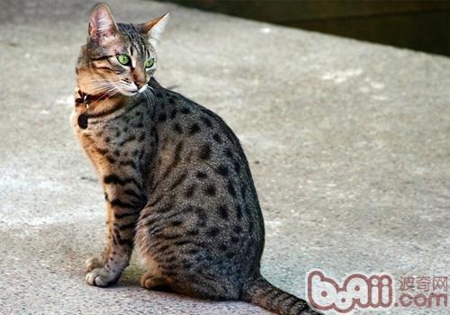 埃及猫的喂食要求