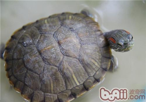 巴西红耳龟的形态特征