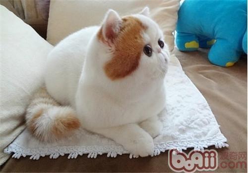 异国短毛猫如何繁育