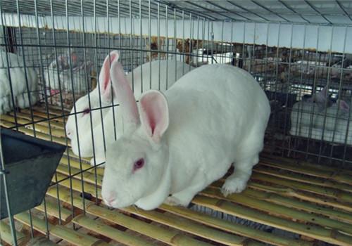 疾病防治 家兔 夏季高温/夏季高温家兔的疾病防治