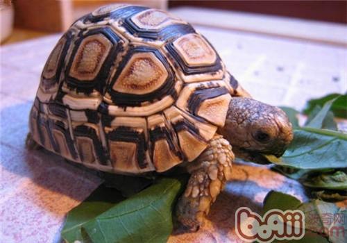 什么陆龟最难养呢?