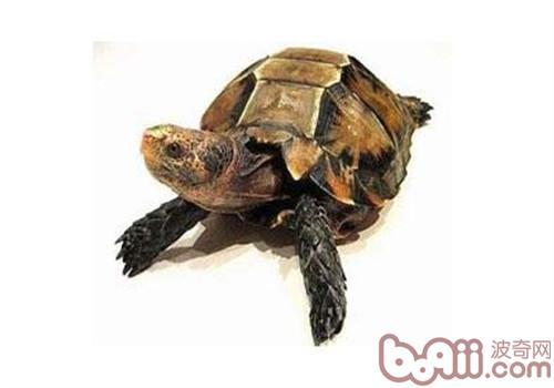 凹甲陆龟的外形特征