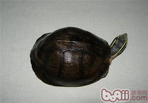 安布闭壳龟的形态特征
