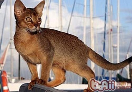 阿比西尼亚猫的喂食要求