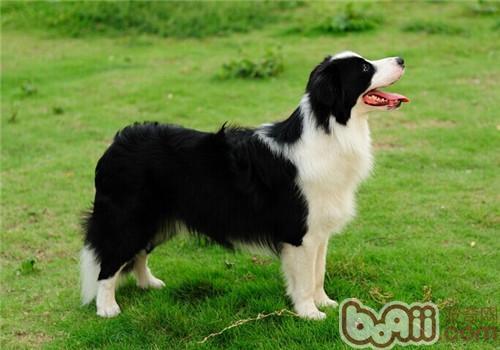 边境牧羊犬的形态特征
