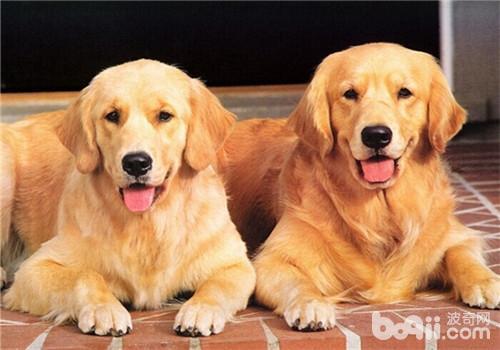 金毛犬的形态特征