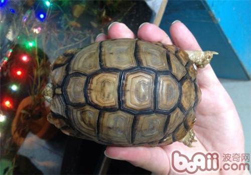 关于埃及陆龟的养护知识