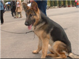 德国牧羊犬的养护知识