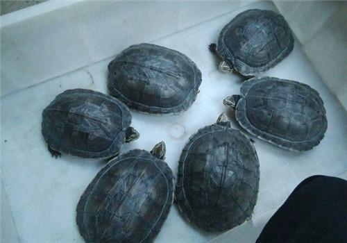 安南龟的品种简介