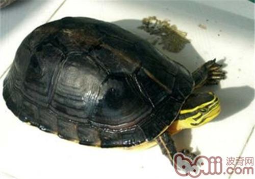 安布闭壳龟吃什么?