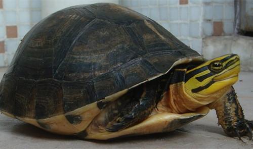安布闭壳龟饲养注意事项