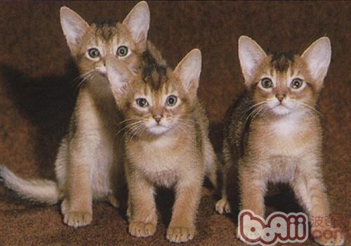 阿比西尼亚猫的性格特点
