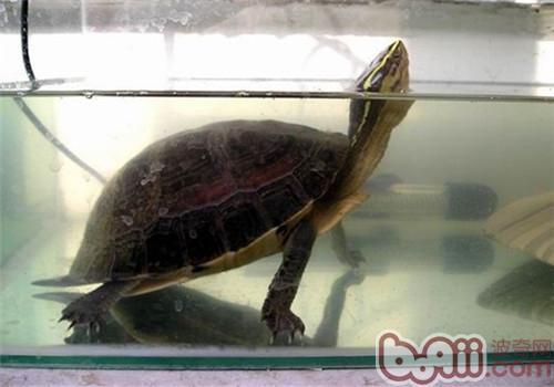 安布闭壳龟饲养环境介绍