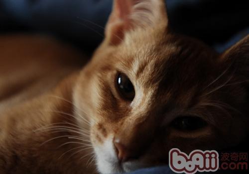 阿比西尼亚猫的养护