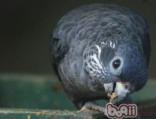 暗色鹦鹉的养护知识