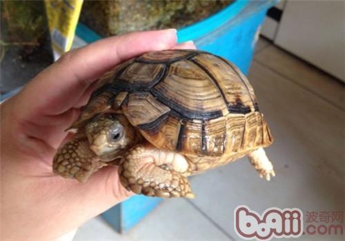 埃及陆龟生活环境的布置