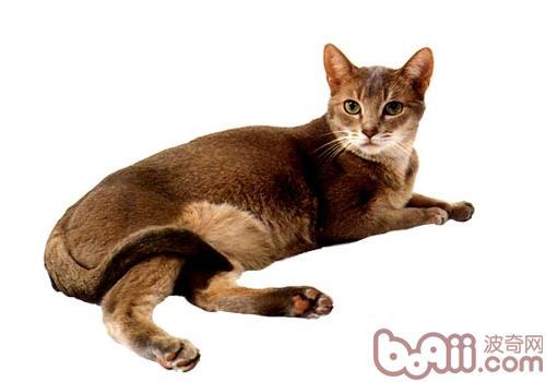 阿比西尼亚猫品种简介