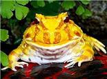 挑选宠物蛙的注意事项