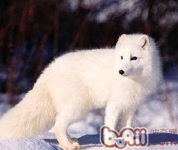 狐貍疫苗的使用要點