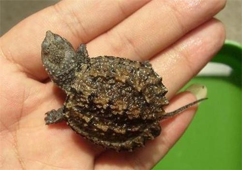 怎样辨别小鳄龟