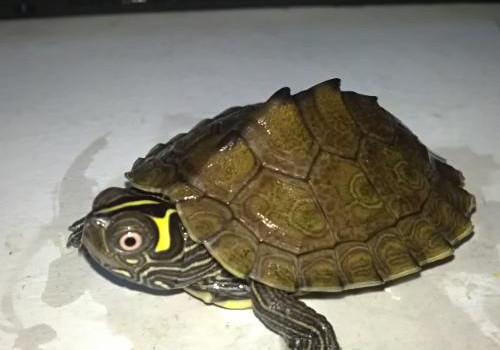 地图龟寿命有多久?