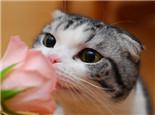 蘇格蘭折耳貓遺傳病因