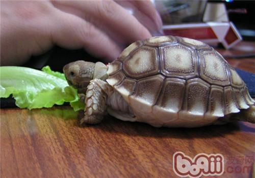 苏卡达陆龟对环境的要求