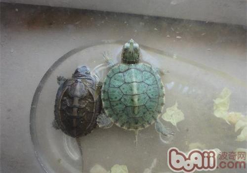 水龟的饲养心得