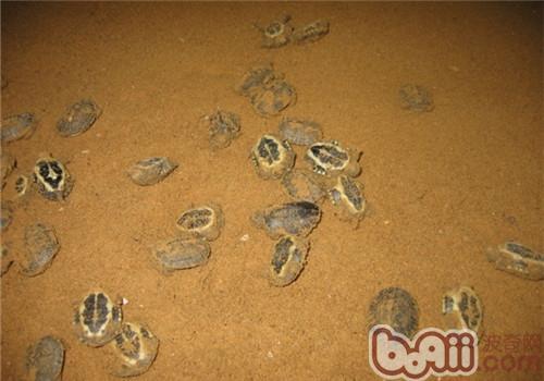 稚龟培育需要注意的问题