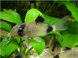 熊貓鼠魚的繁殖特征