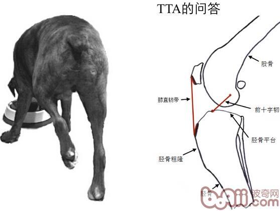 犬肝脏镰状韧带的结构图