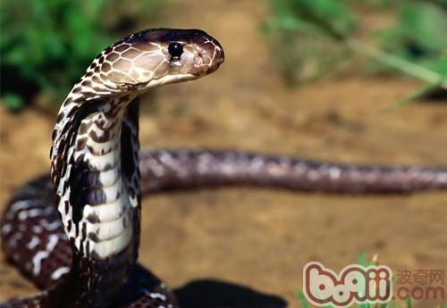 埃及眼镜蛇的生活环境介绍
