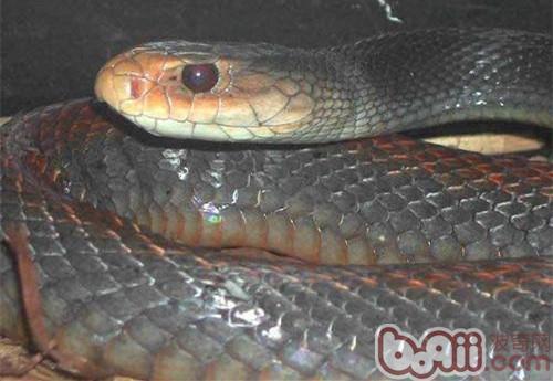 澳洲金刚蛇