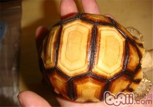 安哥洛卡陆龟的人为养护