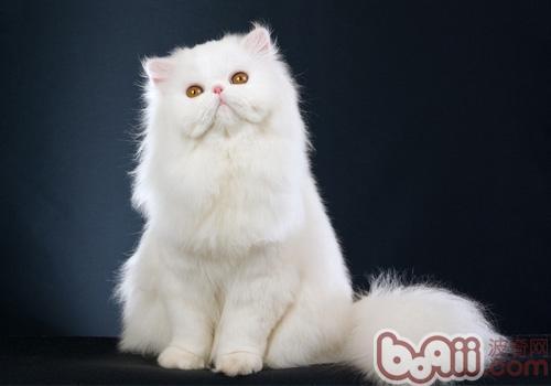 波斯猫品种简介