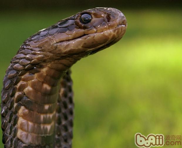 埃及眼镜蛇的养护要点