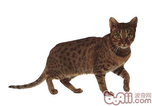奥西猫品种简介
