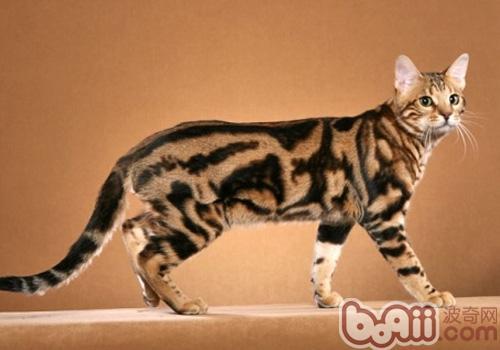 奥西猫的养护知识大盘点