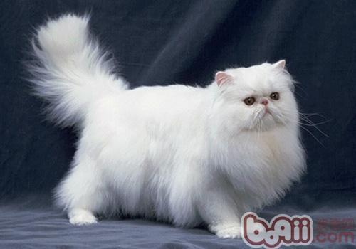波斯猫的形态特征是什么样的
