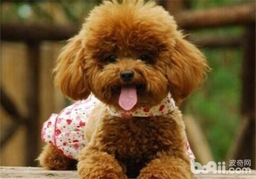 贵宾犬的性格特点