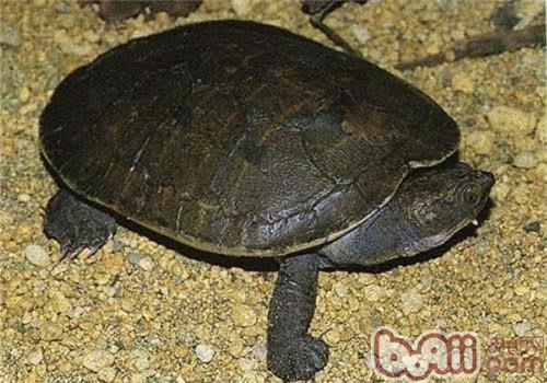 澳北盔甲龟的生活环境要求